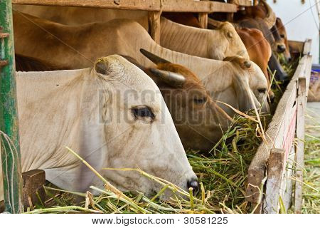 White Cow Among Brown Other Eating Grass