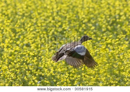 Pintail pato em voo