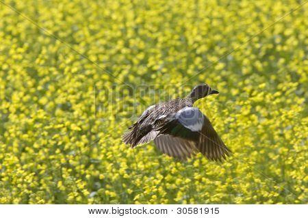 Pintail Duck In Flight