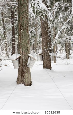 Maple Trees With Sap Pails