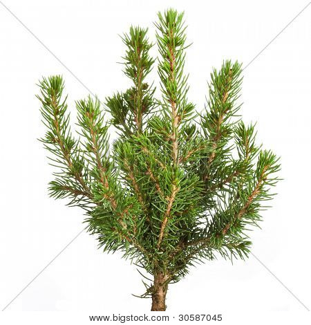 Young decorative spruce Conica , Isolated on a white