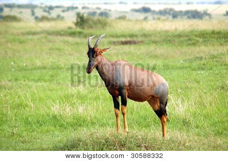 Topi Antelope Standing On The African Plains