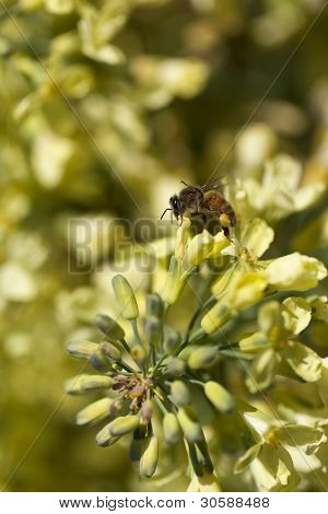 European Honey Bee - Apis Mellifera