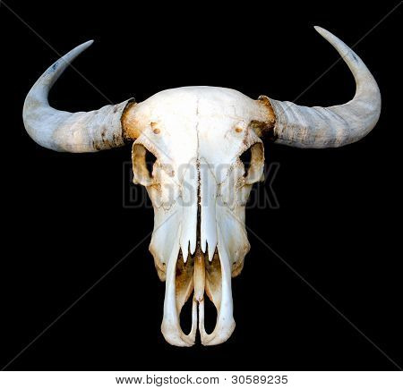 Water buffalo skull on black background, Isolated.