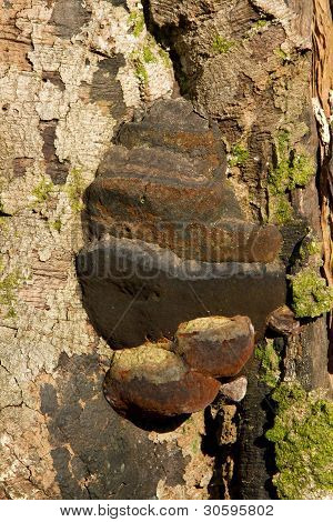 Artists Bracket Fungus