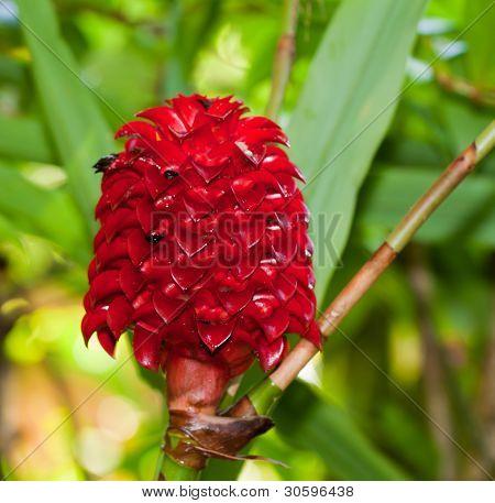 indonesian ginger