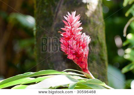 tahitian ginger