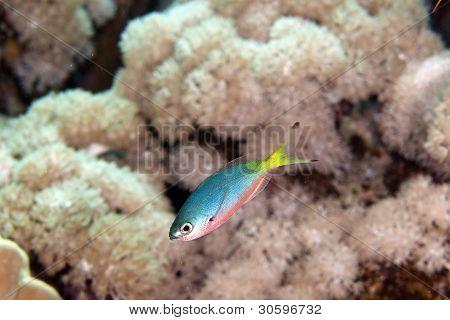 Goldband fusilier juv. (pterocaesio chrysozona) in the Red sea.