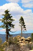 Pine Trees On Rocky Terrain At An Alpine Forest In The Rural San Bernardino Mountains, Ca poster