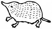 picture of shrew  - pygmy shrew illustration  - JPG
