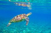 Sea Turtle In Sunlight. Tropical Lagoon Green Turtle Underwater Photo. Wild Marine Animal In Natural poster