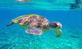 Cute Sea Turtle In Blue Water Of Tropical Sea. Green Turtle Underwater Photo. Wild Marine Animal In  poster