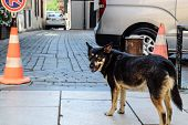 Stray Dog On The Street. Adult Stray Shepherd. poster