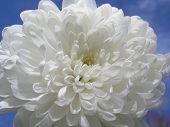 foto of white flower  - Closeup Of White Flower Against Blue Sky - JPG