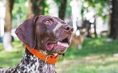 Dog Of Breed German Shorthaired Pointer. Portrait Close-up. A Dog With Curiosity Looks Up poster
