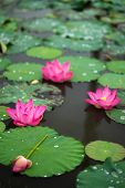 Royalty High Quality Free Photo Image Of A Pink Lotus Flower. The Background Is The Lotus Leaf, Pink poster