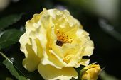 Honey Bee Collects Pollen From A Yellow Rose. Bee, Apis Mellifera Near Pistil Rose. Collect Pollen F poster