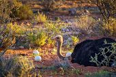 Ostrich Guarding Its Eggs In The Kalahari Desert Of Namibia. Photographed At Sunset. poster