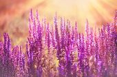 Purple Flower, Flowering Purple Flowers, Purple Flowers Lit By Sun Rays In Late Afternoon, In Dusk - poster