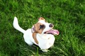 Purebred Jack Russell Terrier Dog Outdoors On Nature In The Grass On A Summer Day. Happy Dog sits  poster
