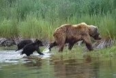 Grizzly With Her Cubs