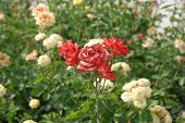 Yellow And Red Fading Roses In Garden poster