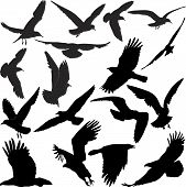image of small-hawk  - silhouette of raven hawk eagle gulls crow - JPG
