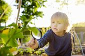 Little Child Exploring Nature With Magnifying Glass In Community Kitchen Garden . Close Up. Little B poster