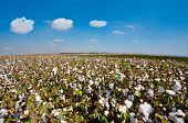 stock photo of boll  - Ripe Cotton Bolls On Branch Ready For Harvests - JPG