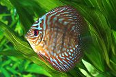 picture of diskus  - Symphysodon discus fish in an aquarium - JPG