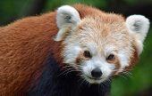 Red Panda In Enclosure - Portrait, Head Shot poster