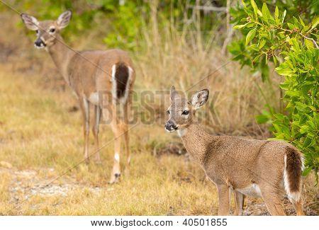 Small Key Deer In Woods Florida Keys