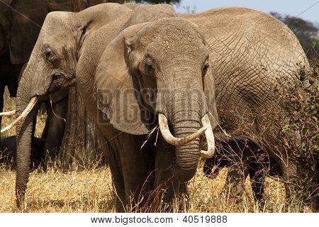 Elephant Tusker