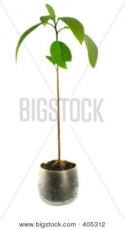 Avocado Plant /isolated/ - Houseplant