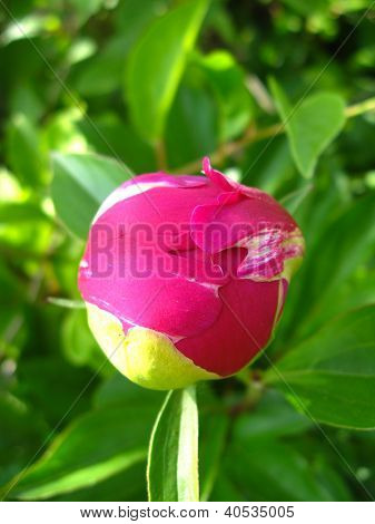 Not dismissed bud of the beautiful flower of peony