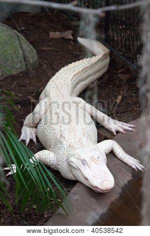 Albino Alligator - Alligator Farm
