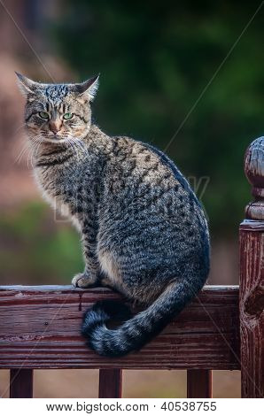 The Gray Cat On A Fence