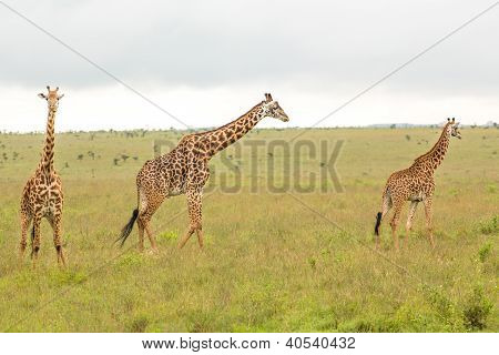 Giraffe Family In Kenya
