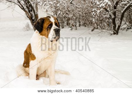 Saint Bernard In The Snow