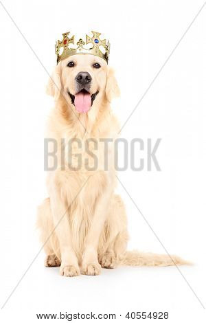 A studio shot of a labrador retriever with crown on his head isolated against white background