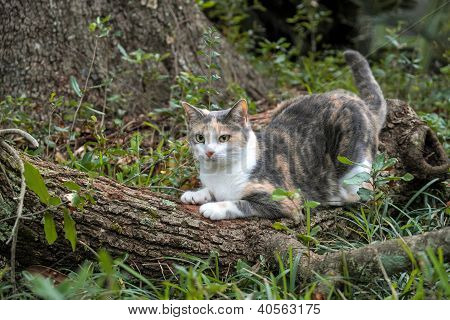 Calico Cat Outdoors Sharpening Her Claws