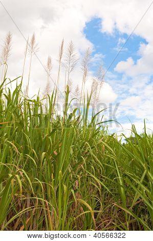 Mature Sugar Cane