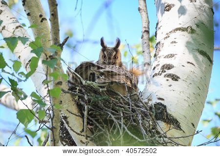 Asio Otus, Long-eared Owl.