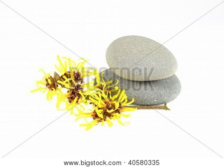 Witch Hazel with Zen Stones