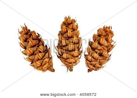 Conifer Plugs