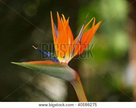 Strelitzia, bird of paradise, exotic flowers