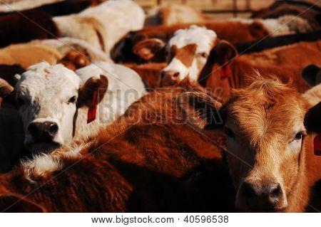 Merritt's Cattle