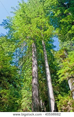 Redwood Pair In The Wilds