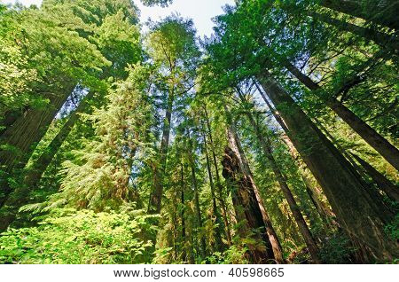 Looking Up Into Forest Giants