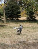 stock photo of cattle dog  - Blue heeler dog running away on a farm in the fall - JPG